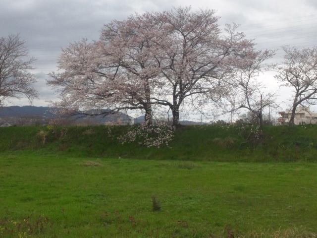 春の激しい雨のなか、桜
