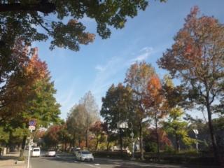 街路樹がきれいに紅葉 本日も、大阪府議会教育常任委員会