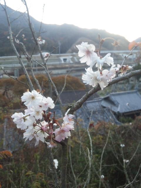 冬至に、サクラサク!金輪寺の寒桜!
